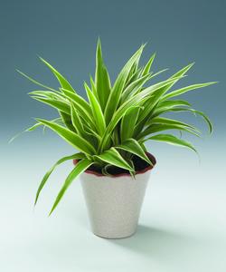 fatsia japonica giftig