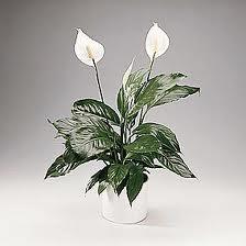 vanliga växter inomhus